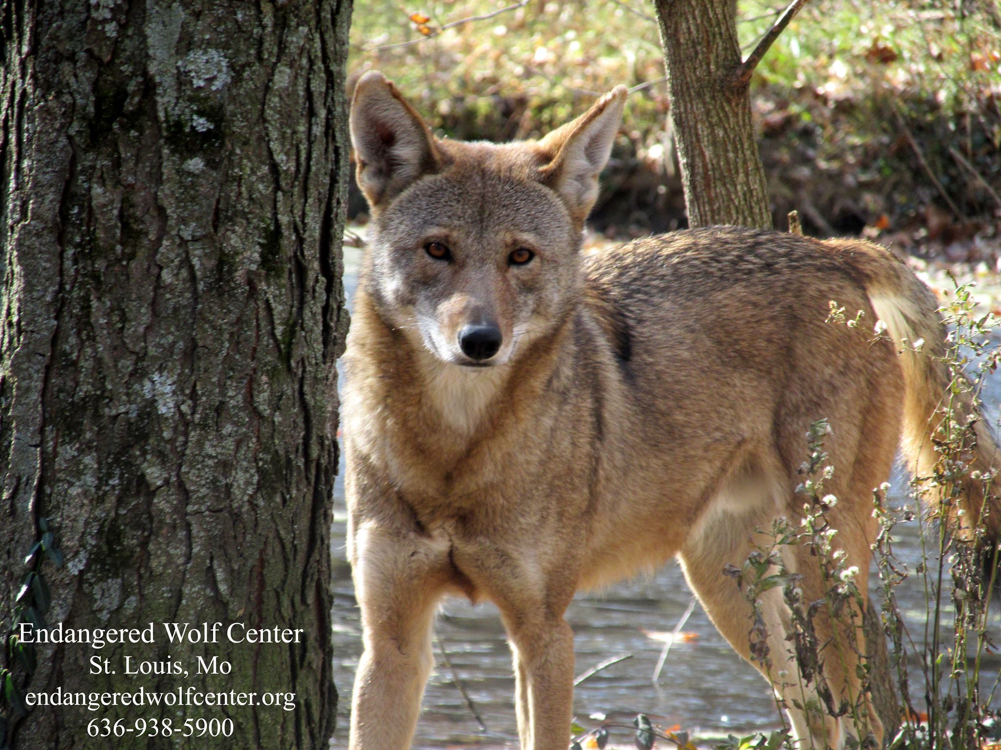 bright coral creative conservation wolf photo endangered wolf center